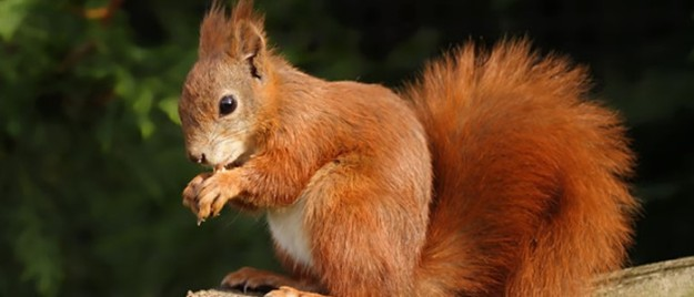 formby-red-squirrel